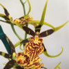 Bnfd. Gilded Tower 'Yellow Star'