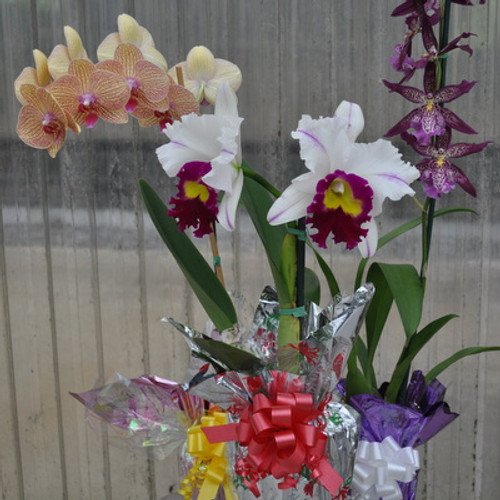 Akatsuka Orchid Special