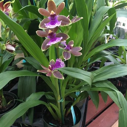 Zygo Dragon Kitten Purr Akatsuka Orchid Gardens