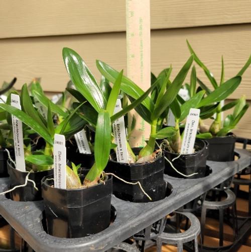 Den. bracteosum x tanii (Plant Only)