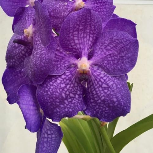 """4""""  Vanda manuvadee x sib (Plant Only)"""