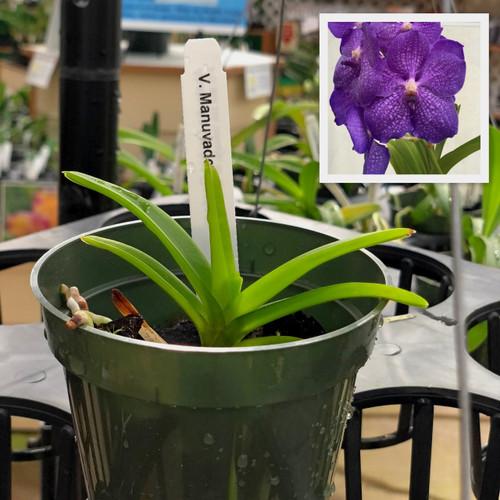 "Vanda manuvadee x sib (Plant Only-3"" Pot)"
