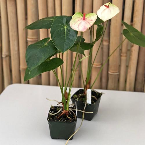Rainbow Special Anthurium Plant
