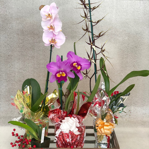 Holiday Akatsuka Orchid Special.