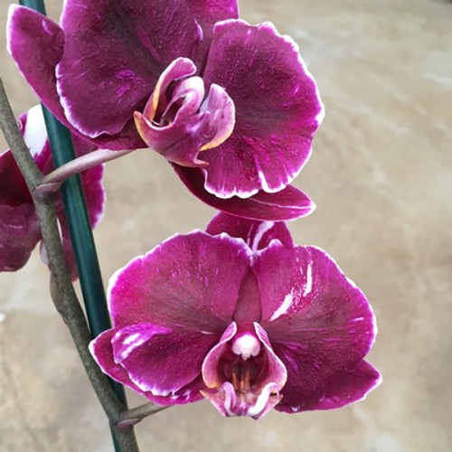 Phal. Magic Art (Dark Solid)