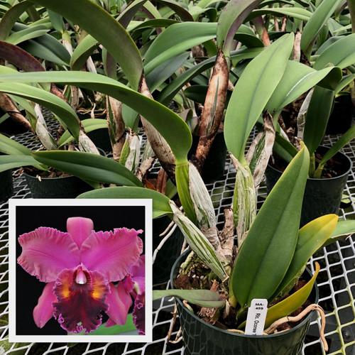 Rlc. Oconee 'Mendenhall' (Plant Only)