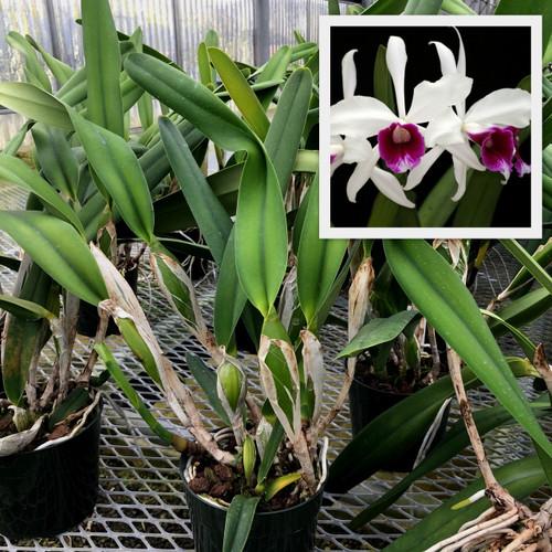 L. purpurata 'Adams' x sib. 'alba' (Plant Only)