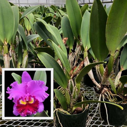 Rlc. Midori Sato 'Volcano Queen' (Plant Only)
