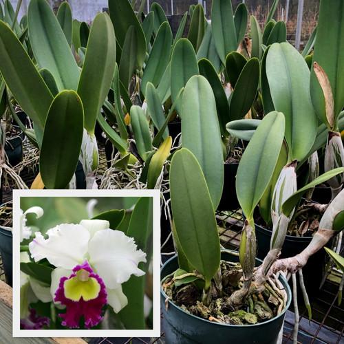 Rlc. Chie Hattori 'Volcano Queen' (Plant Only)