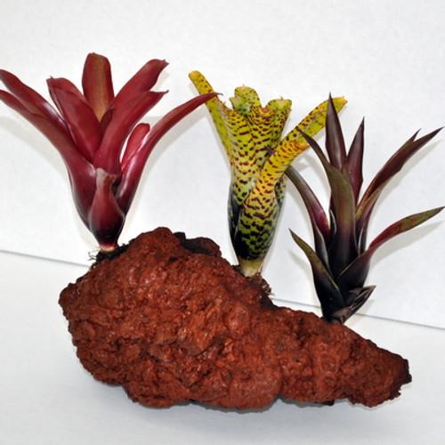 Triple Combo Bromeliad