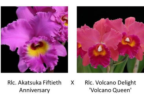 Rlc. Akatsuka Fiftieth Anniversary x Rlc. Volcano Delight 'Volcano Queen' (Plant Only)