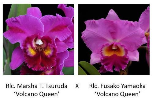 Rlc. Marsha T. Tsuruda x Rlc. Fusako Yamaoka 'Volcano Queen' (Plant Only)