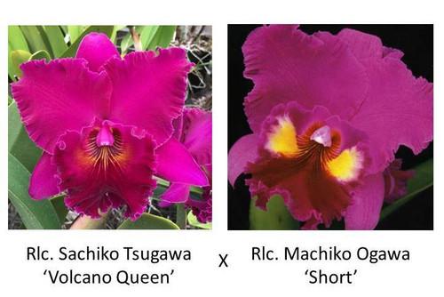 Rlc. Sachiko Tsugawa x Rlc. Machiko Ogawa 'Short' (Plant Only)