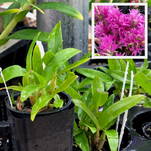 Den. tanii x sib. (Plant Only/No Buds)