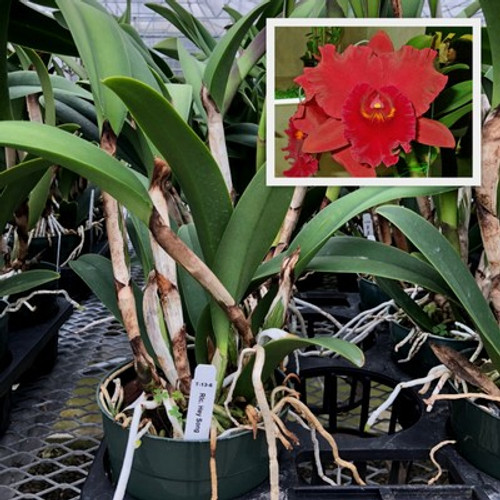 Rlc. Hey Song (Plant Only)