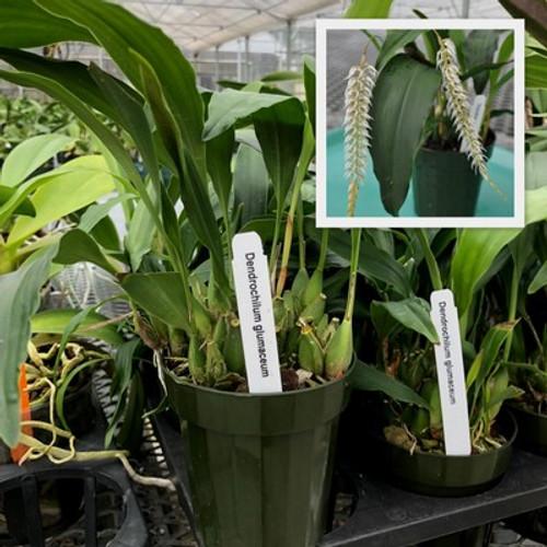 Dendrochilum glumaceum (Plant Only)