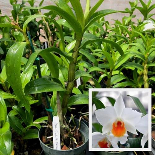 Den. Judith Nakayama (Plant Only)
