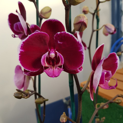Phal. Fancy Fire