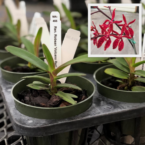 """Ren. Robsan 'Volcano Red' (Young Plant-4"""" Pot)"""