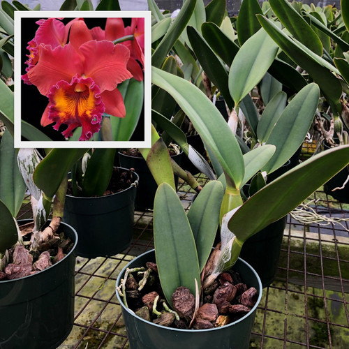 Rlc. Sharon King 'Volcano Queen' (Plant Only)