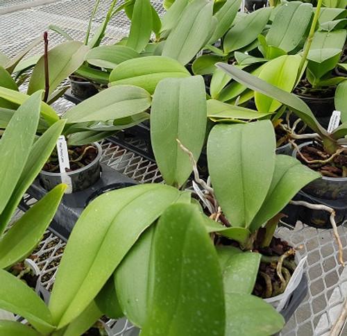 Any Phalaenopsis (Plant Only)