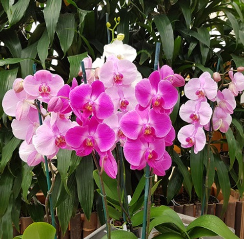 """Any Phalaenopsis - Open Bloom  GROWER'S CHOICE (4"""" Pot)"""