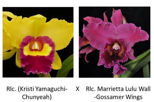 Rlc. (Kristi Yamaguchi-Chunyeah) x Rlc. Marrietta Lulu Wall Gossamer Wings (Plant Only)