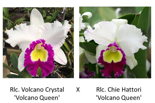 Rlc. Volcano King (Seedling Plant Only)