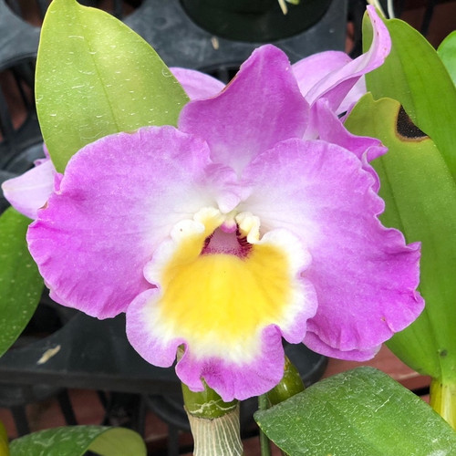 Den. Nobile- Brilliant Smile 'Imperial'