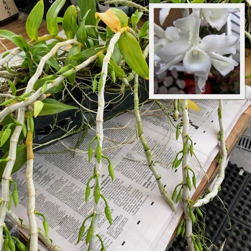 Dendrobium anosmum 'Snow Angel' (Honohono)- White