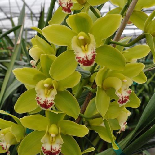 Mini Green Cymbidium Orchid Sprays