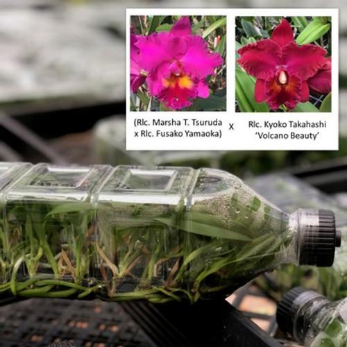 ((Rlc. Marsha Tsuruda x Rlc. Fusako Yamaoka) x Rlc. Kyoko Takahashi 'Volcano Beauty') FLASK (Seedling))