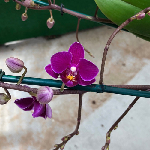Phal. Tropic Multi Purple (Mini Phal)