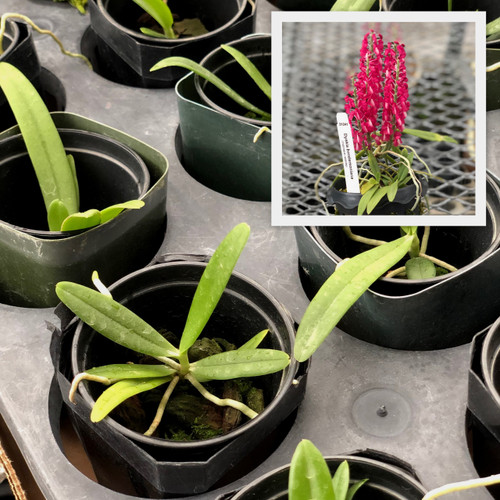 """Dyakia hendersoniana ('Big' x 'Red')  (2"""" Pot-Plant Only)"""