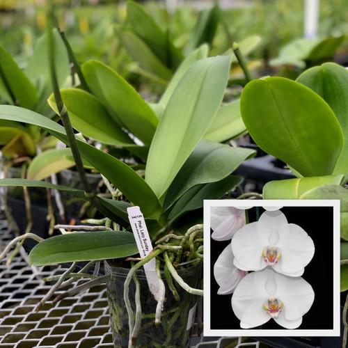 Phal. White (Plant Only)
