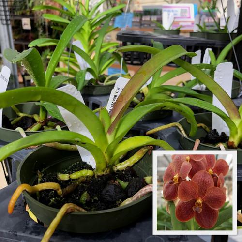 "V. Rasri Gold x V. Dr. Anek (Plant Only-3"" Pot)"