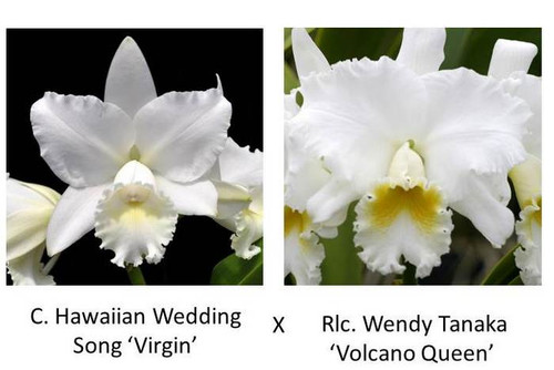 Cattleya Legacy Naming (AO-1906)