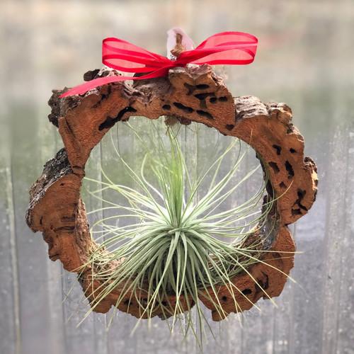 Hanging Tillandsia Ornament Special