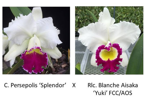 Rlc. Carlos Alvarez (Seedling Plant w/Buds)