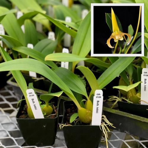 """Bulb. lobbii (Seedling -Starter-3"""" Pot)"""