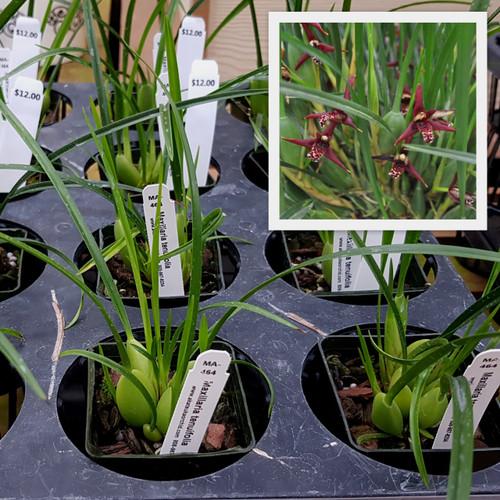 """Maxillaria tenuifolia (Starter-2.75"""" Pot)"""