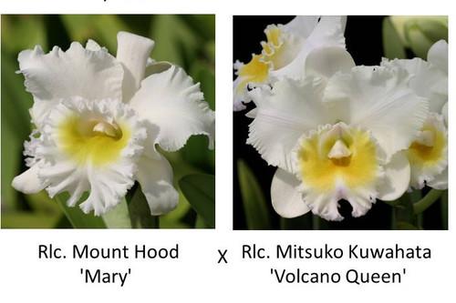 Rlc. Mount Hood 'Mary' x Rlc. Mitsuko Kuwahata 'Volcano Queen' (Plant Only)