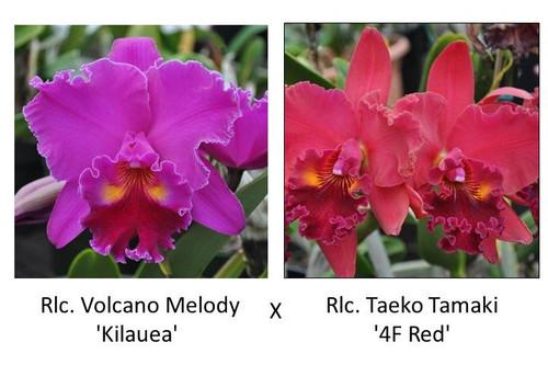 Rlc. Volcano Melody 'Kilauea' x Rlc. Taeko Tamaki '4F Red' (Plant Only)