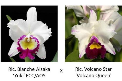 Rlc. Blanche Aisaka 'Yuki' FCC/AOS x Rlc. Volcano Star 'Volcano Queen' FCC/AOS (Plant Only)