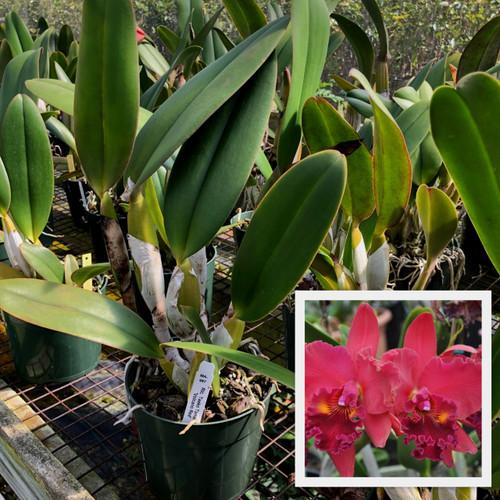 Rlc. Taeko Tamaki 'Volcano Red' (Plant Only)