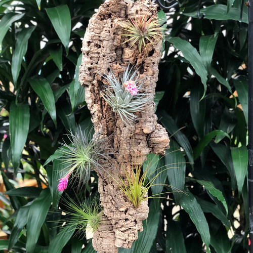 "Tillandsia on Hanging Cork #4 (Extra Large-28"" x 9"")"