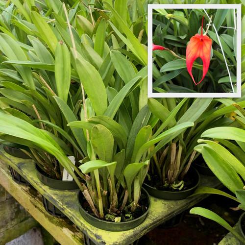 "Masd. veitchiana x militaris (Plant Only-4"" Pot)"