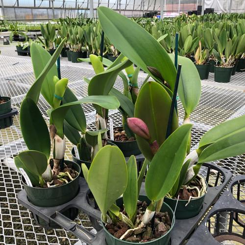 Assorted Cattleya Plant (Single Flower Bud)