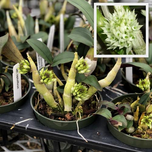 """Den. capituliflorum aka """"Bottle Brush"""" Orchid (Species)"""