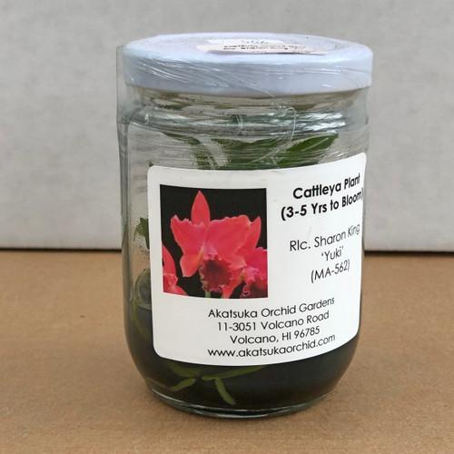Rlc. Sharon King 'Yuki' Clone Mini Flask (5 Orchids/Flask)